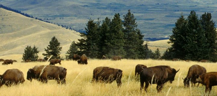 Oh Give Me A Home Where The Buffalo Roam